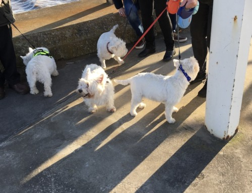 Fylde Coast Westie Dog Walk